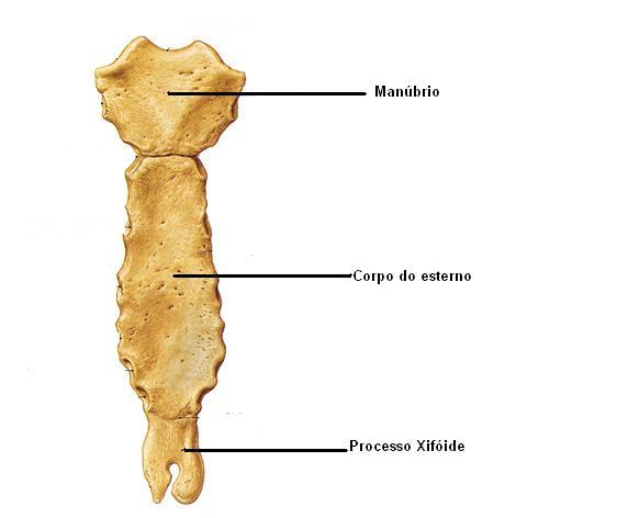Anatomia humana sistema esquel tico esqueleto do t rax for Esterno e um osso irregular
