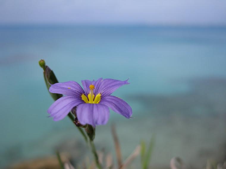 Bermudiana Flower