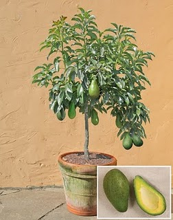 berikut ini tips menanam alpukat pohon alpukat tabulampot alpukat ...