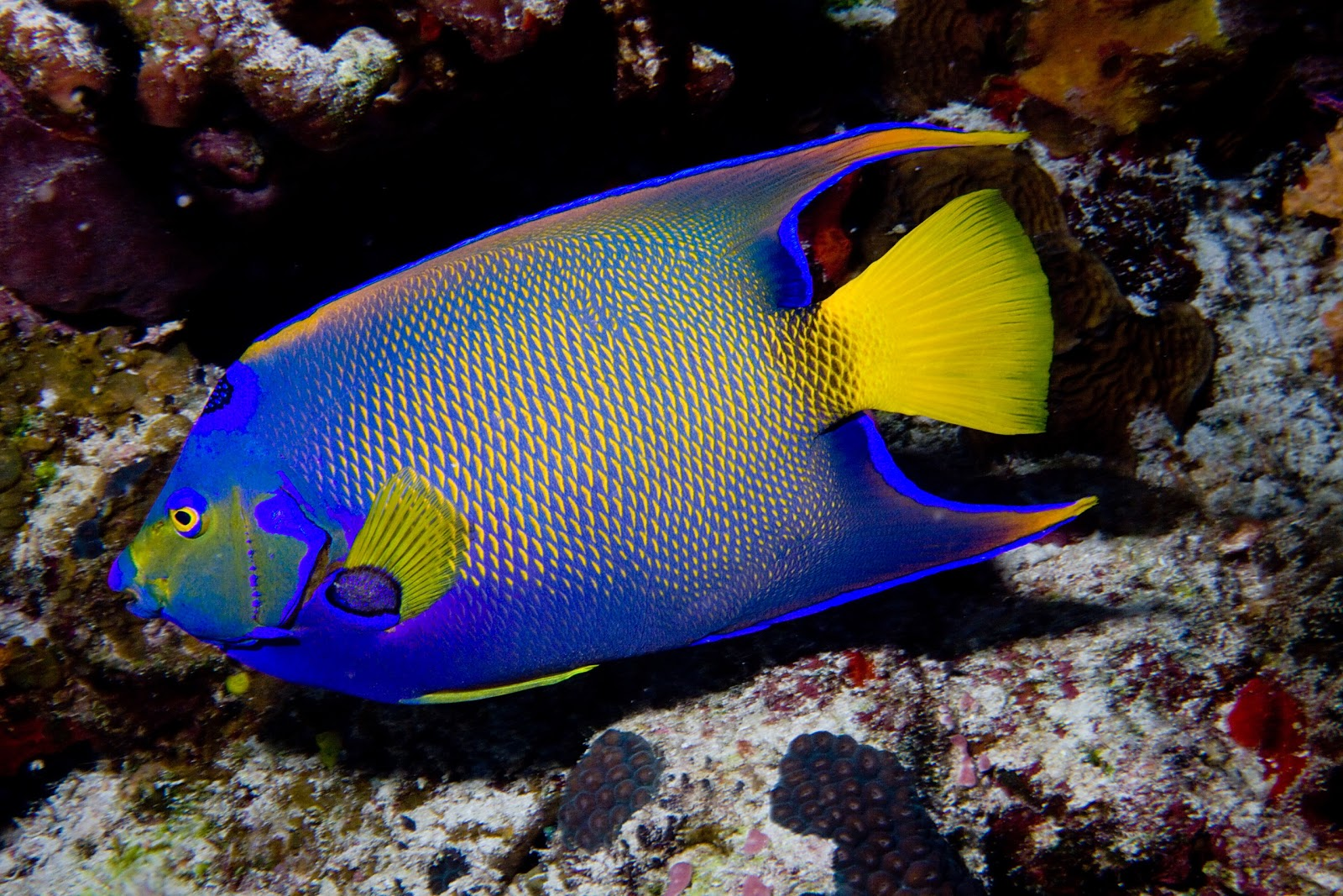 Queen angelfish facts for kids for Fish facts for kids