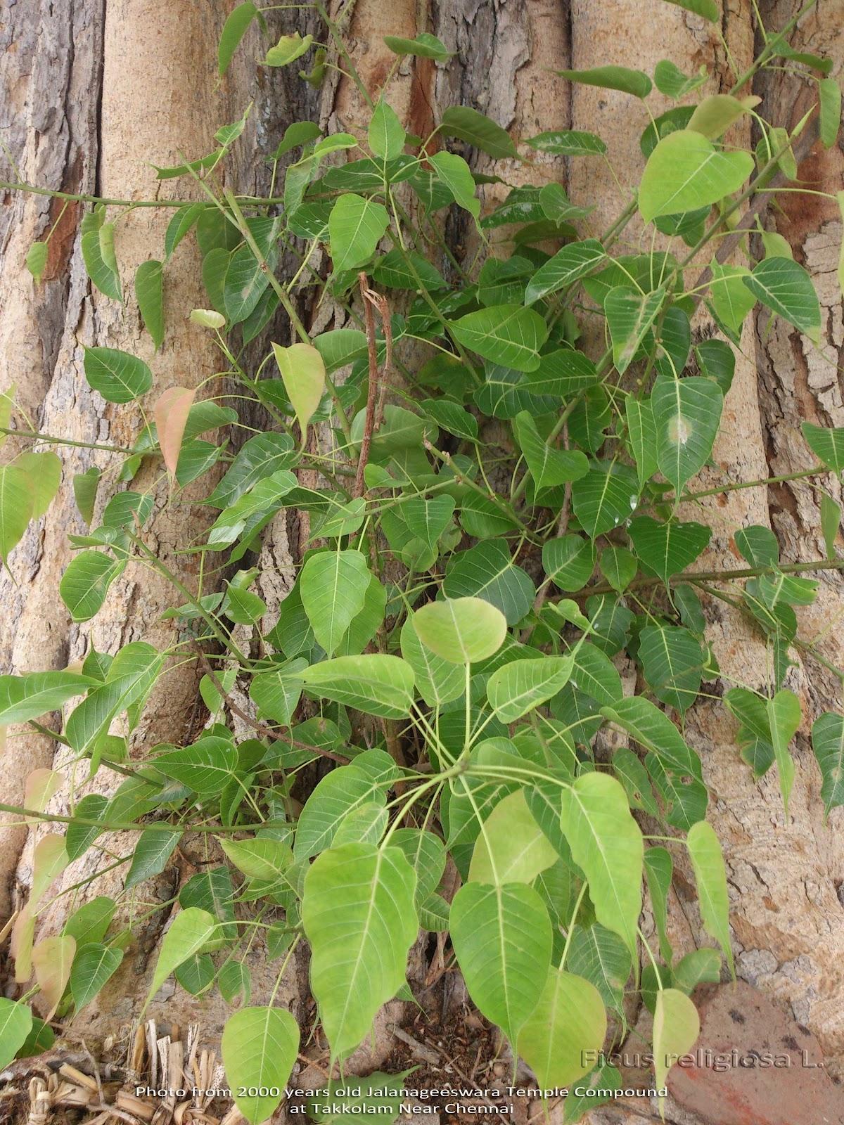 http://1.bp.blogspot.com/-59d2frV2XgE/T_CGa-OnrlI/AAAAAAAADqs/dc7CCs-eeJc/s1600/Ficus-religiosa-Pipal-ashwattha-Ravi-chettu-Bodhi-Vriksh--Arasa-maram.jpg