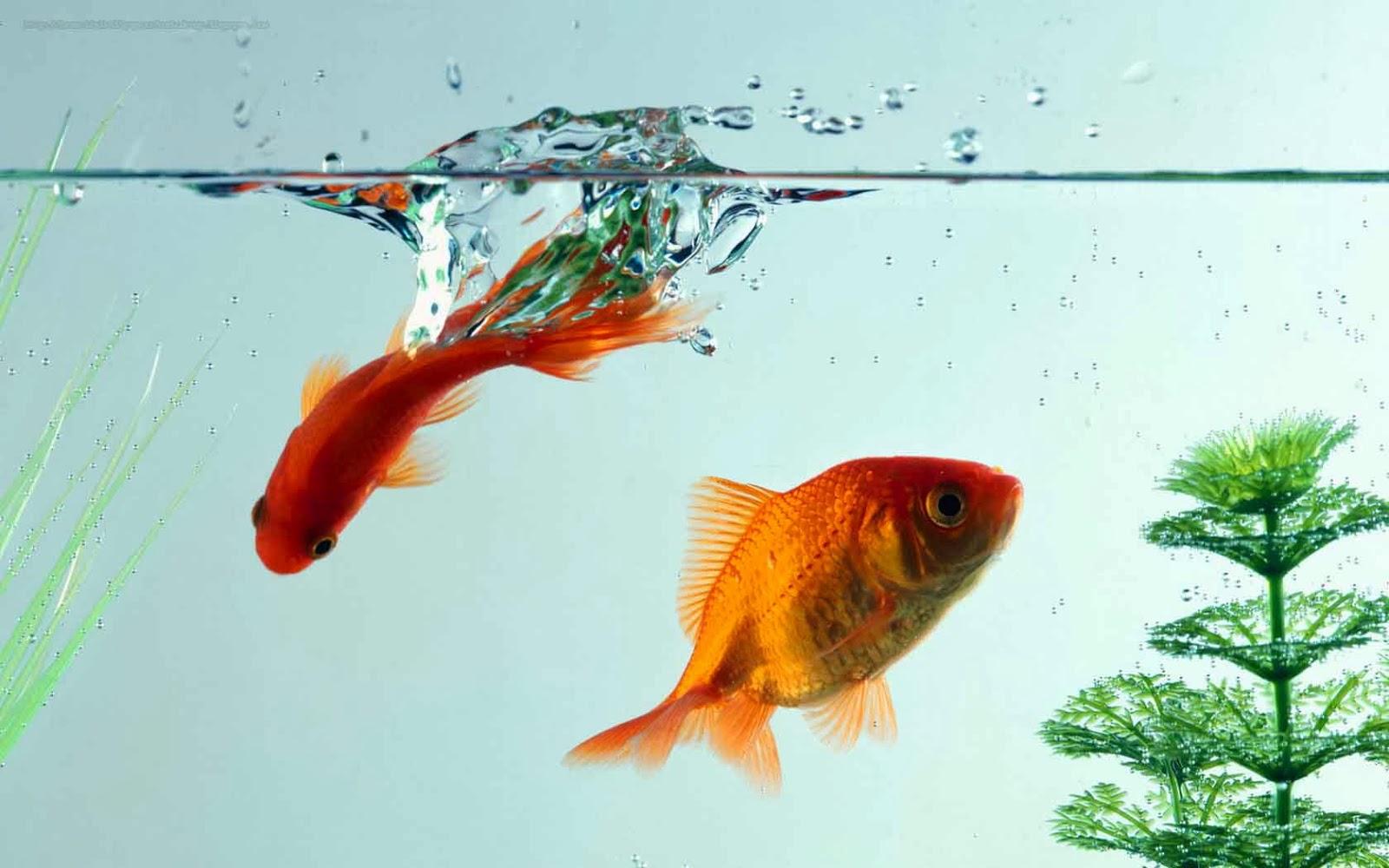 http://beautifulwallpapersfordesktop.blogspot.com/2014/01/beautiful-small-fishes-wallpapers.html