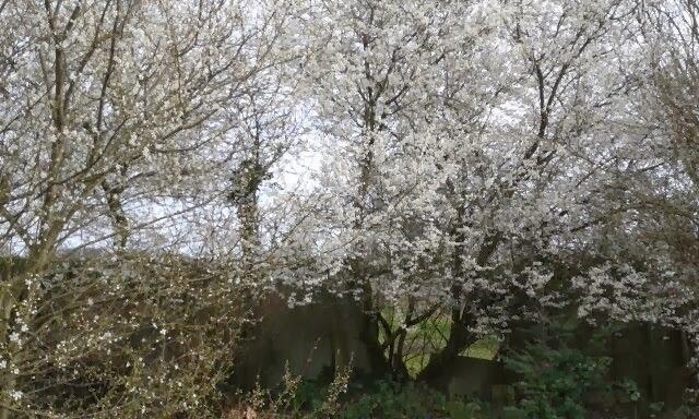 Spring Blossom Trees