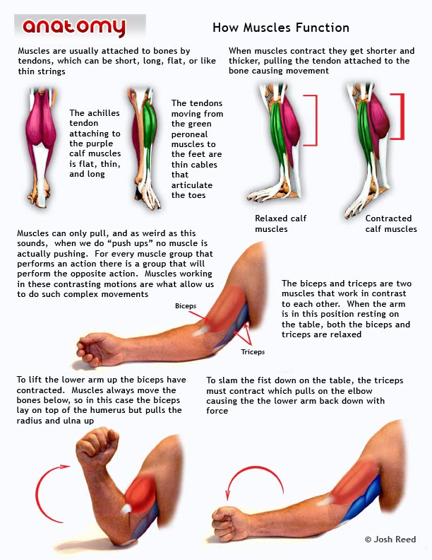 muscles of the lowerleg and the upperarm | anatomy-muscles, Muscles