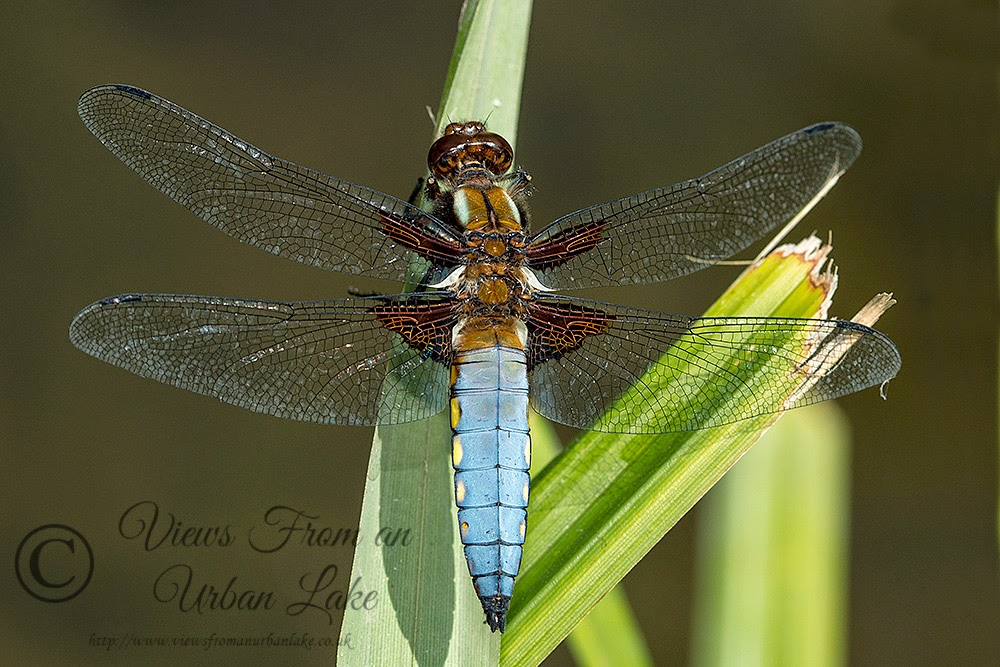 Broad-bodied Chaser (Male) - Loughton Valley Park, Milton Keynes