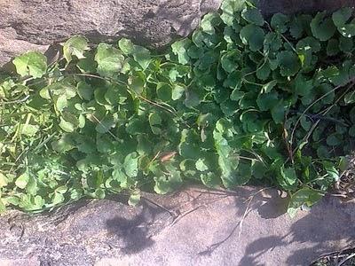 जड़ी बूटी ब्राह्मी - एक औषधीय पौधा