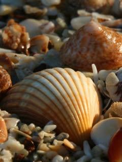 Školjke na plaži slike besplatne pozadine za mobitele download