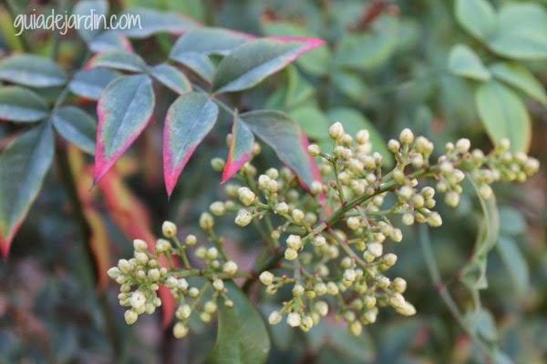 Flores de nandina doméstica