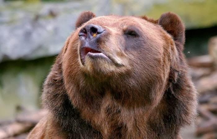 Bear meets a bee (4 pics), bear vs bee, funny bear picture
