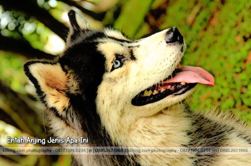 Entah Anjing Jenis Apa Ini - Foto oleh KlikMG - Fotografer Indonesia / Fotografer Banyumas / Fotografer Purwokerto