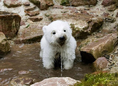 hình ảnh gấu con dễ thương, gấu bắc cực đáng yêu, gấu con đáng yêu