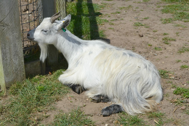 A goat laying in the sun
