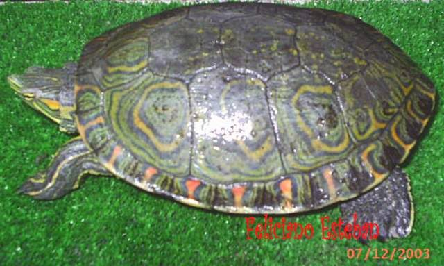 Trachemys ornata - Ornate slider
