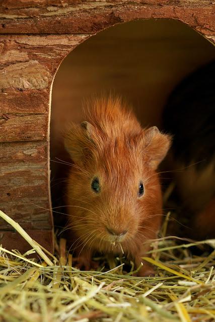 Маленькие морские свинки в возрасте 3 недель.