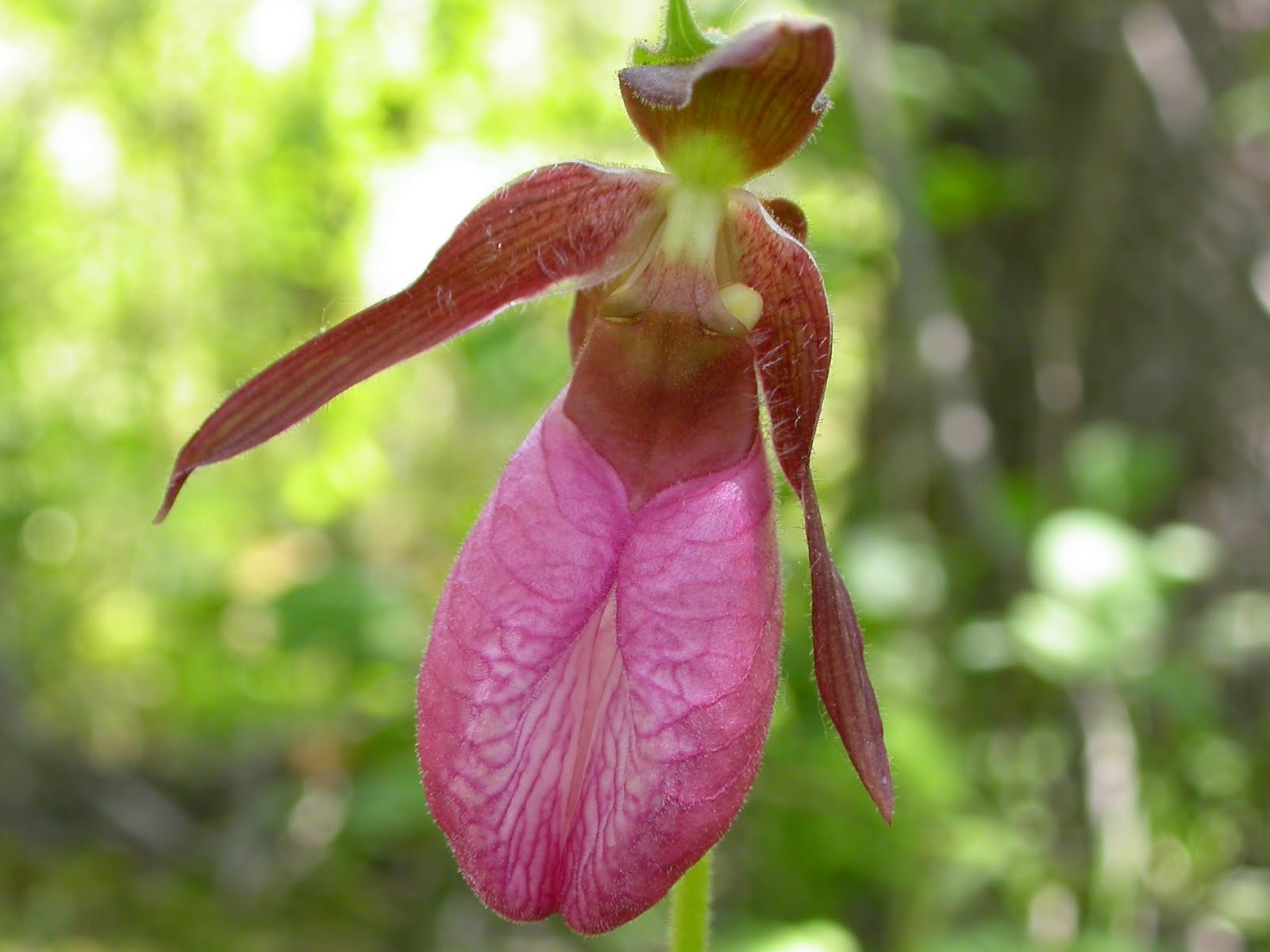 Get Your Botany Indiana s Lady s Slippers