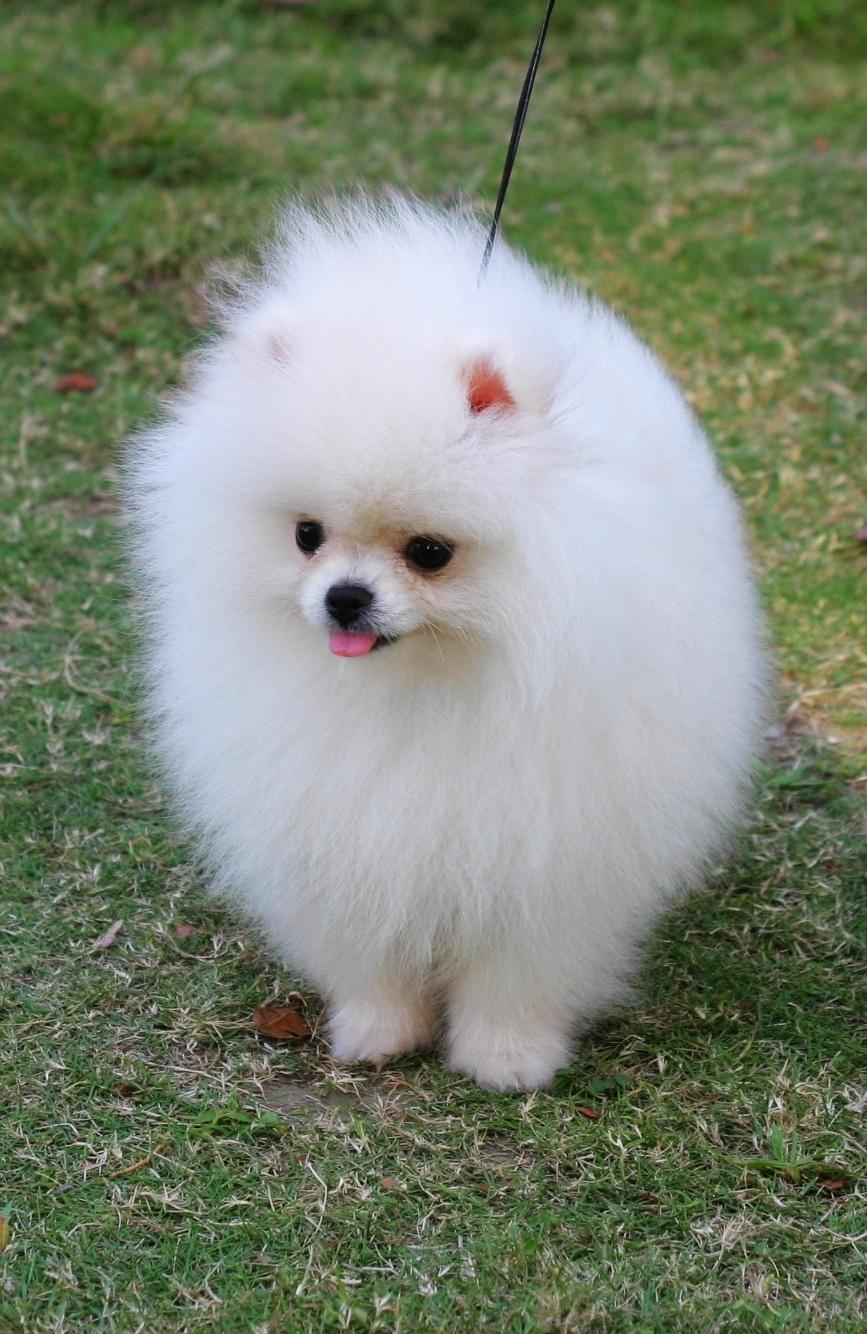 Pomeranian Puppy