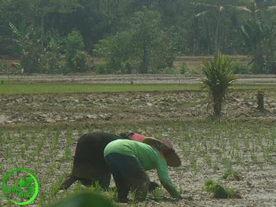 FOTO : Tanam Padi Maju Teknik Petani Padi Pagaden Barat, Subang