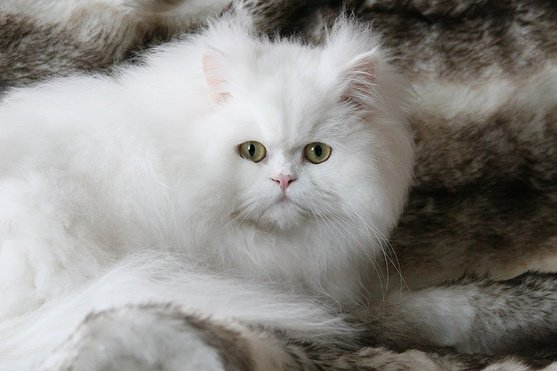 Pictures persian of cats