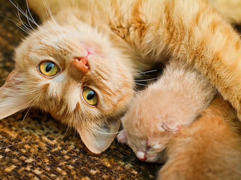 Cara Merawat Kucing Hamil Yang Baik - Rawat Kucing Anda !