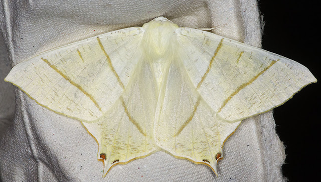 Swallow-tailed Moth, Ourapteryx sambucaria.  In my actinic light trap in Hayes on 28 July 2012.