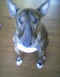 Macy, the brindle bull terrier