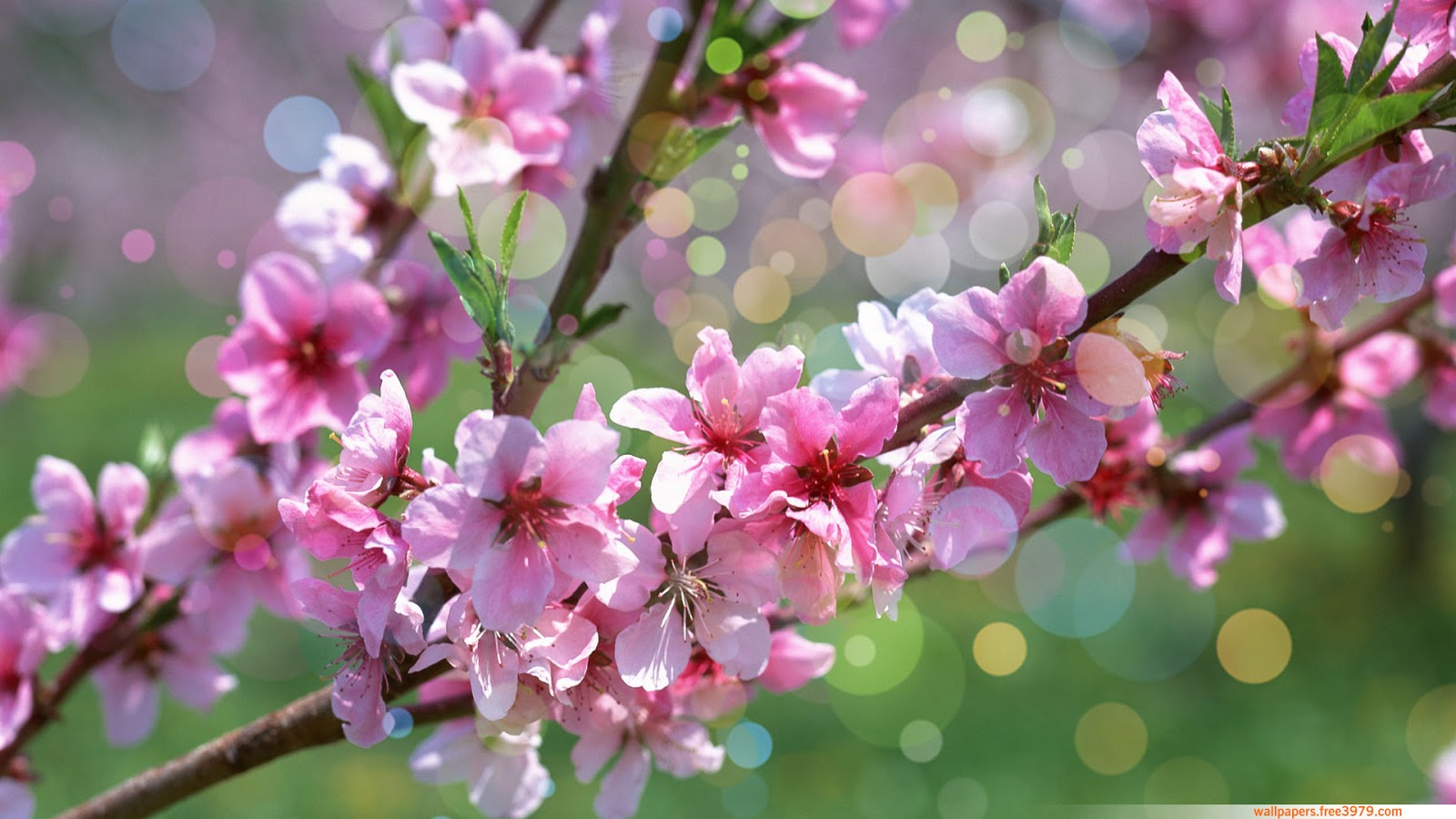 Wallpapers wallpaper 20 asian cherry blossom flower Cherry blossom pictures