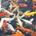 Pasar Ikan Hias Senilai Rp 1 Miliar Dibangun