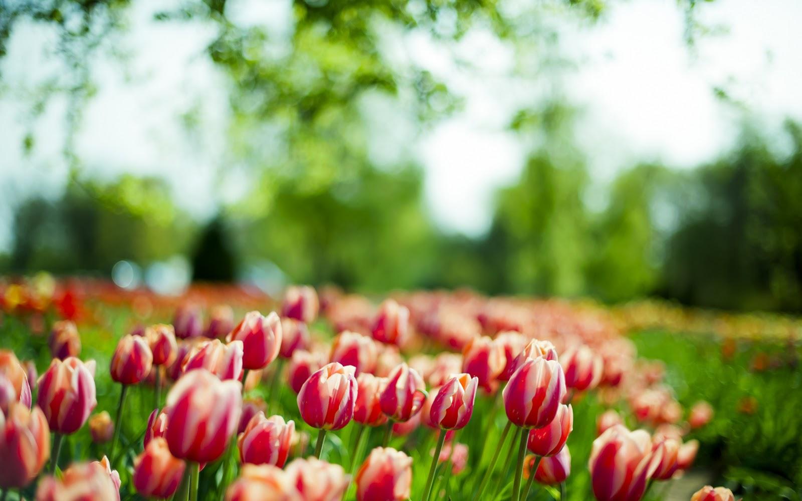 http://1.bp.blogspot.com/-5Exoxdd3vI8/UVxbe5qTmlI/AAAAAAAAJqU/zbil3MX5DR8/s1600/Bello+campo+de+tulipanes+de+un+solo+color.jpg
