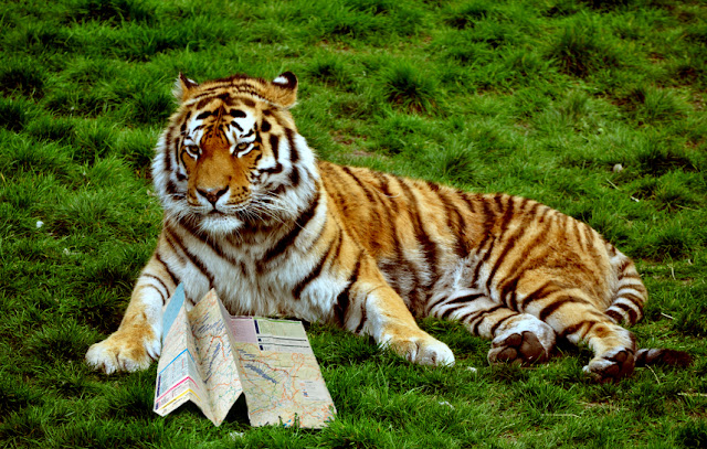 Image of a tiger looking at a map.
