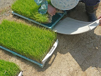 育苗箱の底の小さな穴から這い出る「苗取りボード」。