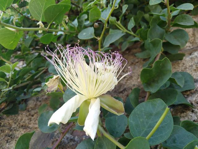 2000 Semi Fiore-Lobelia Biancheria da letto-RIVIERA LILLA