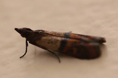 Plodia interpunctella, Moth - Alive