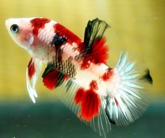 Joe 39 s aquaworld for exotic fishes mumbai india 9833898901 for Betta fish sale