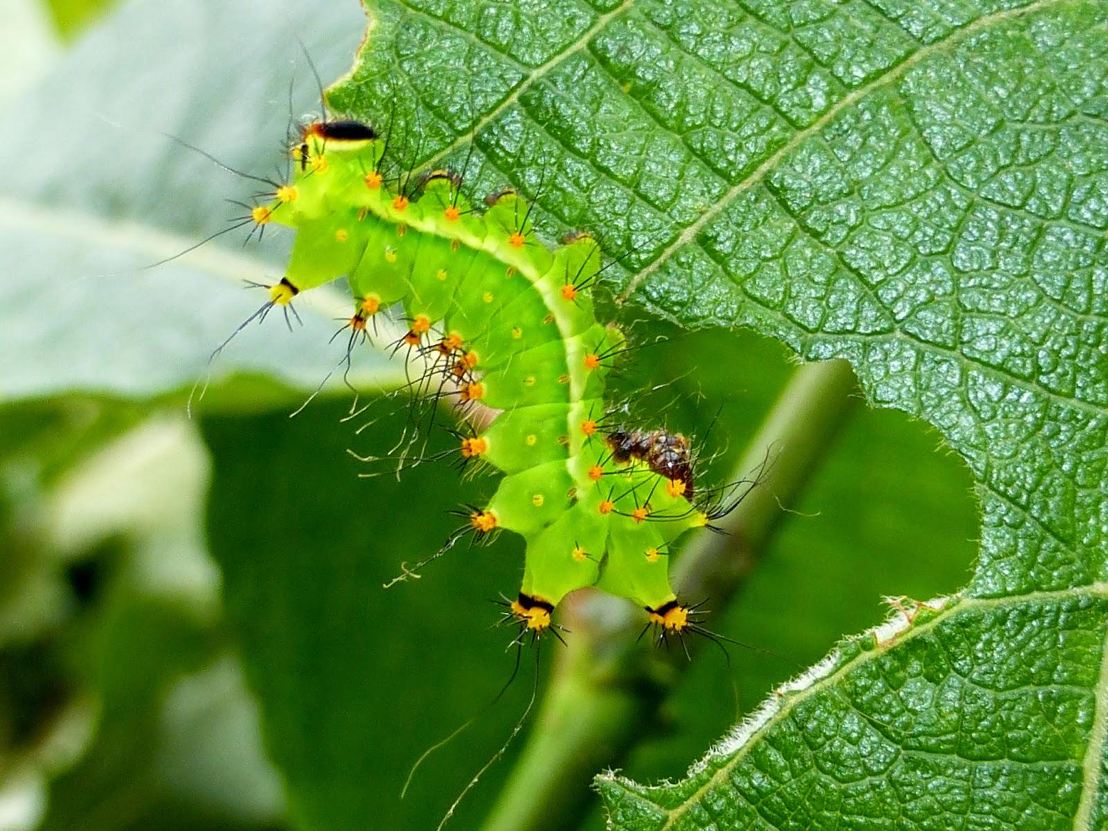 Actias ningpoana caterpillar