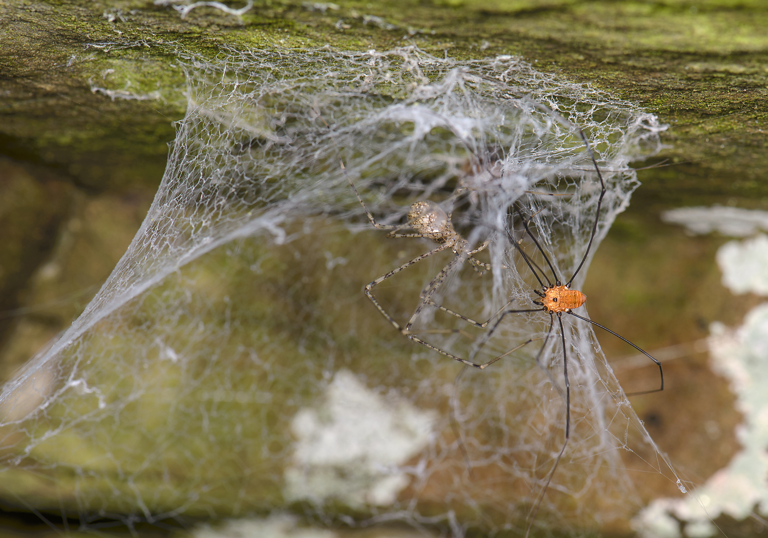 Image: Marshal Hedin Catching A Harvestman In A Web