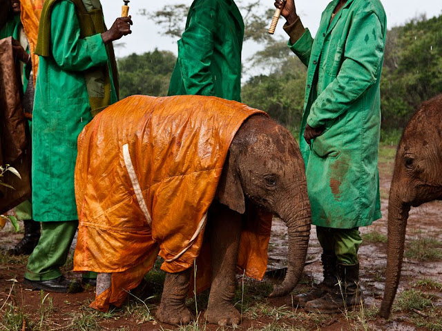A baby elephant wears raincoat to protect him from rain, cute baby elephant, baby elephant wears raincoat