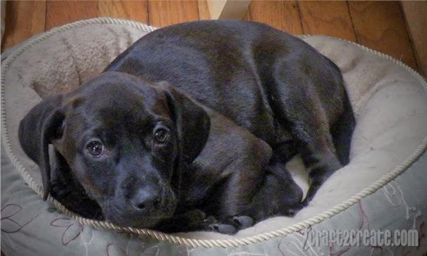 Dog, puppy, coonhound, mix, cute