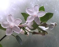 Iasomia de Madagascar – Stephanotis