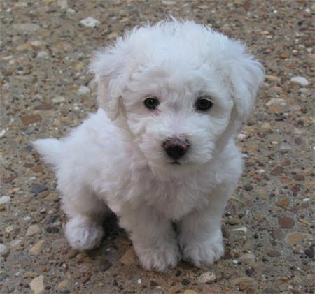 Puppy Bichon Frise Dog Information