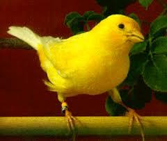 cara merawat burung kenari untuk lomba, cara merawar burung kenari, merawat burung kenari, merawat kenari, burung kenari