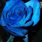 roses my love