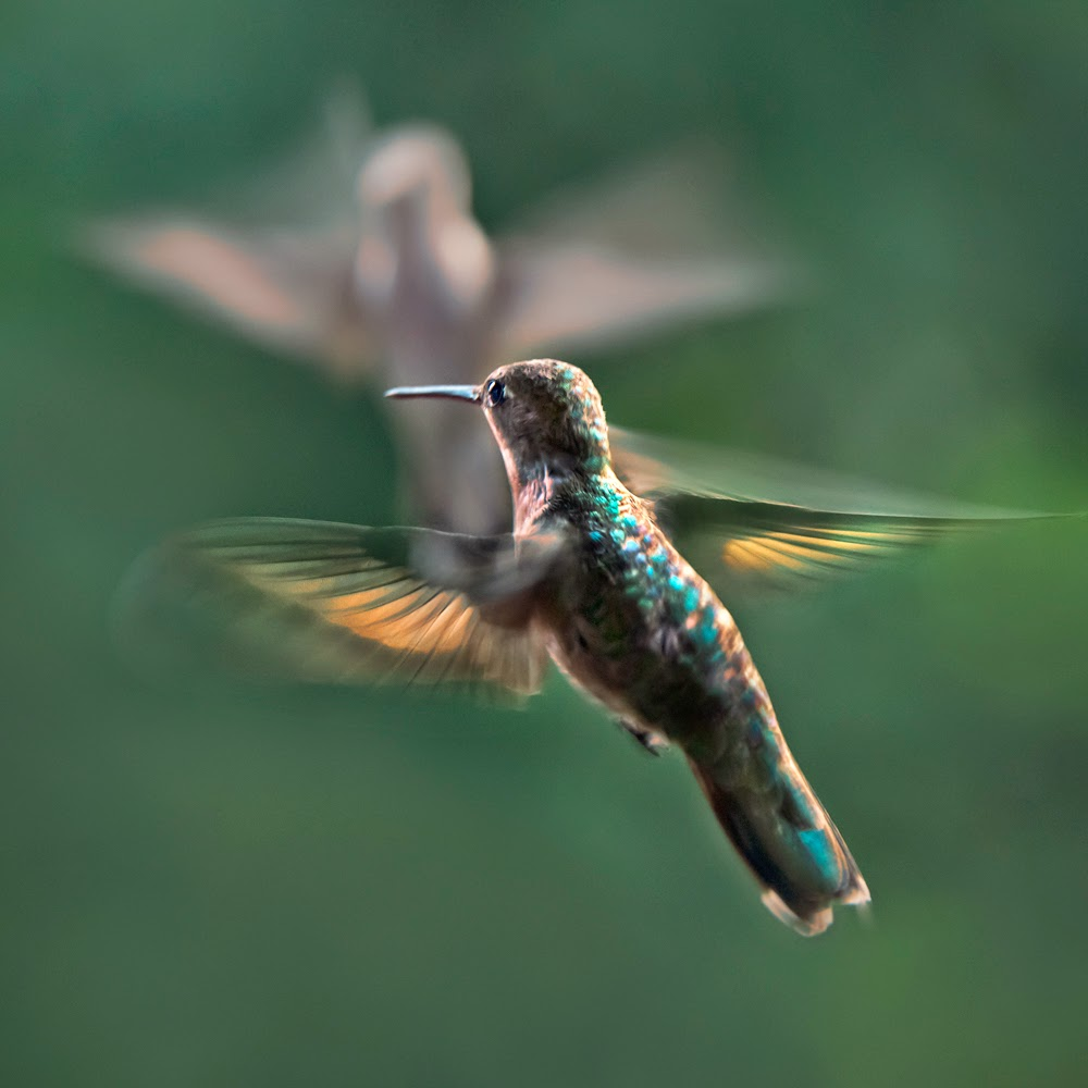 Hummingbird Dance ©Jim Brandenburg
