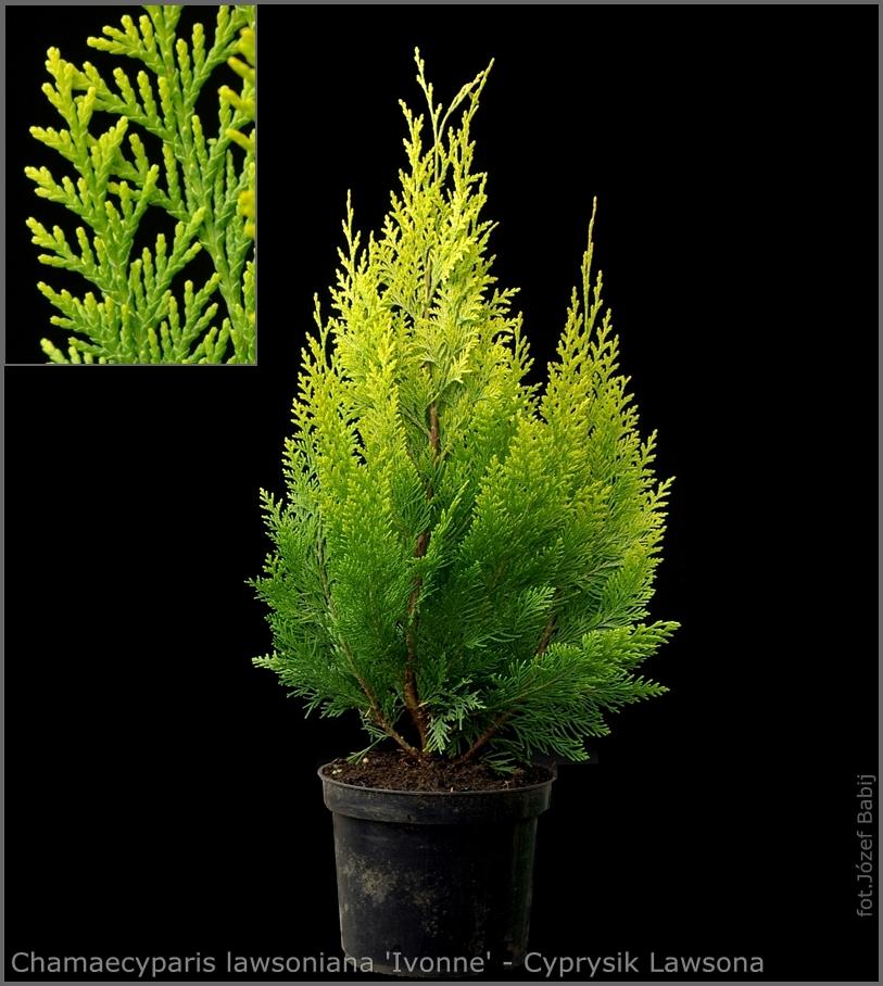 Chamaecyparis lawsoniana 'Erecta Aurea' - Cyprysik Lawsona