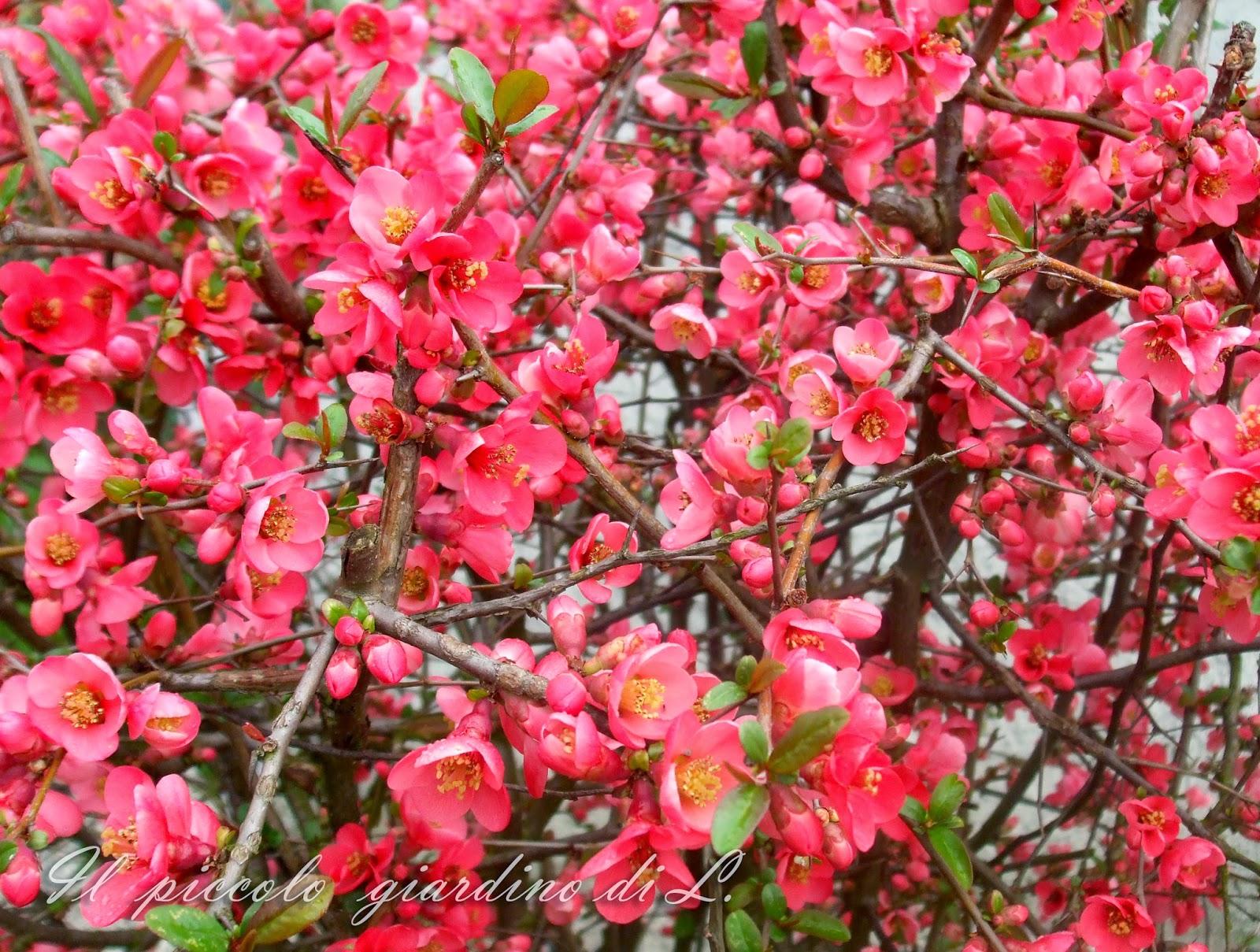 Il piccolo giardino di l chaenomeles ed subito primavera for Cespugli giardino