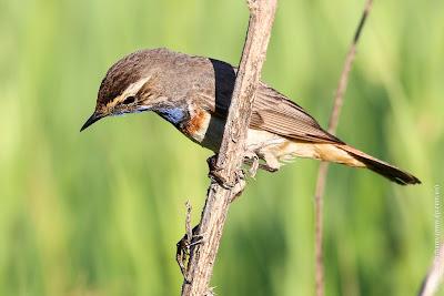 Самец варакушки (Luscinia svecica) Bluethroat