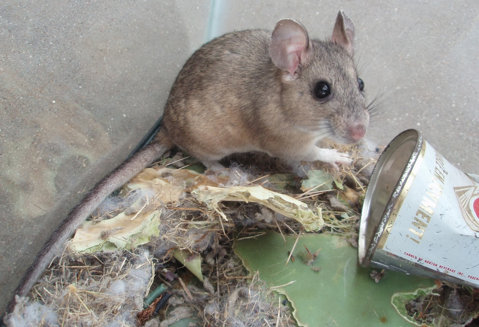 Mr Pack Rat Pack Rats Are Not True Rats