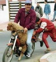 cabra en moto