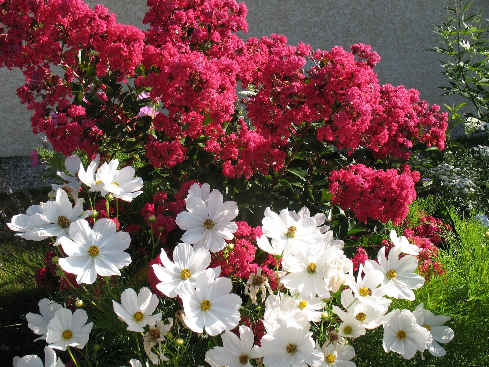 Roses du jardin ch neland lagerstro mia p rigord pourpre for Entretien jardin bergerac