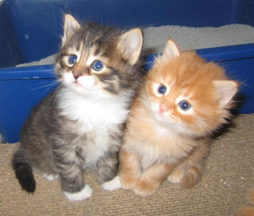 american curle cute kittens cute cats