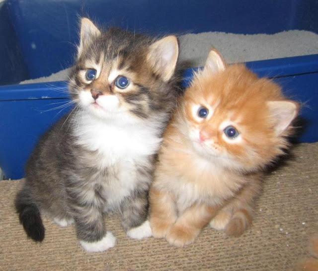 cute siberian cats